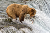 Brown/Grizzly Bear - Katmai National Park, Alaska - 07-05-15